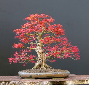 red maple bonsai