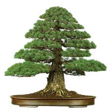 Types of Bonsai Trees - Formal Upright Style