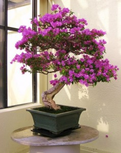 Mature Bougainvillea Bonsai