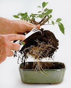 root scraping a bonsai