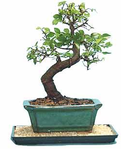 Chinese Elm Bonsai Tree Starter