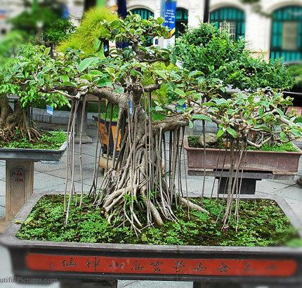 Ficus Benjamina Bonsai