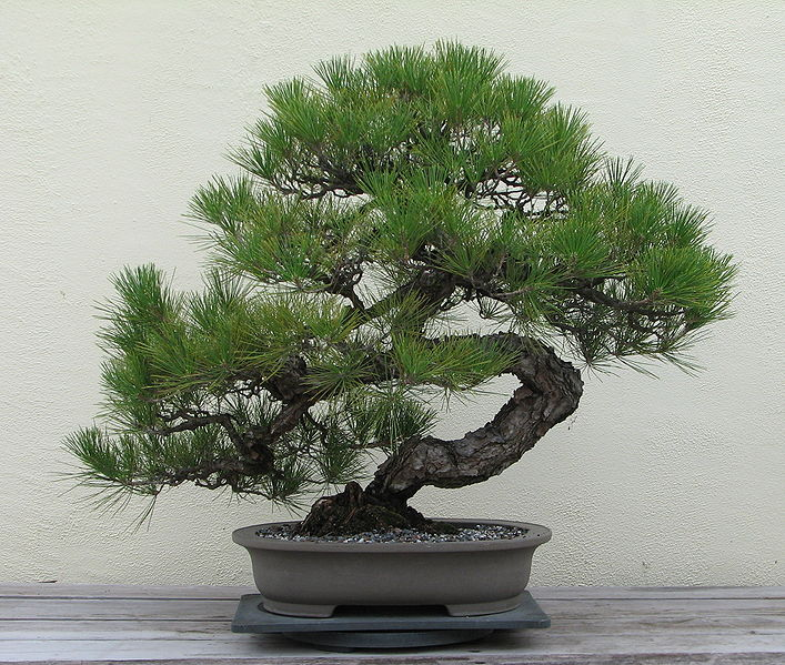 Mature Japanese Black Pine Bonsai