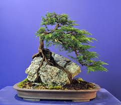 Types of bonsai tree - root over rock