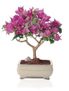 bougainvillea bonsai species guide bonsaidojo bonsai Japanese Maple Bonsai Tree Japanese Maple Bonsai Tree